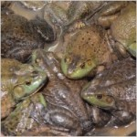 frogs_210648